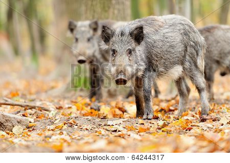 Male Wild Boar In Autumn, In The Forest