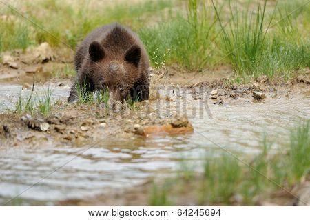 Brown Bear Cub In A Water
