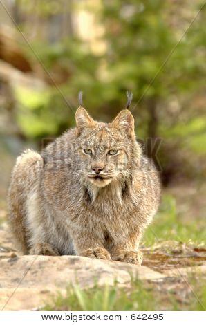 Canadian Lynx (Lynx Canadensis) Crouching.