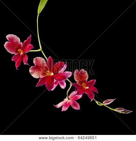 Orchid Cambria Burrageara isolated on black background