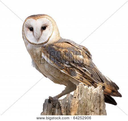 Barn Owl Isolated