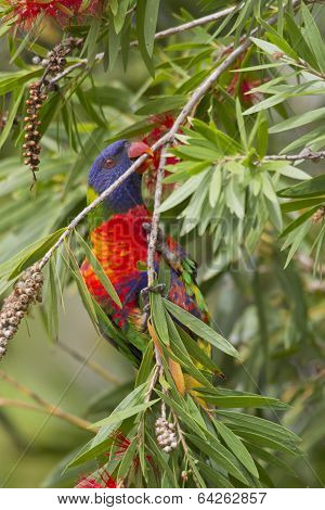 Rainbow Lorikeet In Bottlebrush