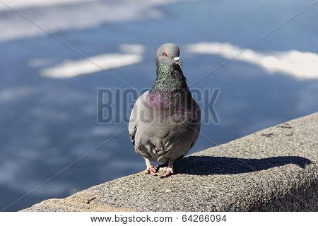 Grey Dove On Parapet Of Embankment