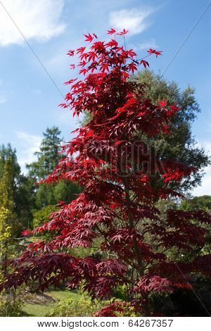 Downy japanese or fullmoon maple
