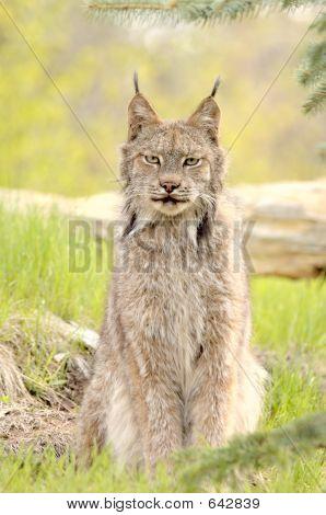 Lynx Canadensis, Sitting