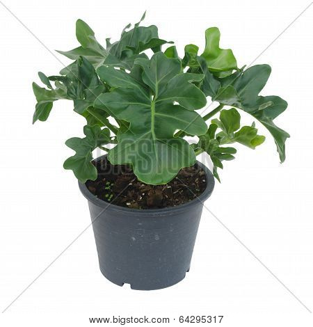 Philodendron Isolated On White Background