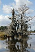 picture of bayou  - Mossy Tree - JPG