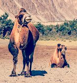 image of jammu kashmir  - Vintage retro effect filtered hipster style travel image of Bactrian camels in Himalayas - JPG