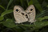 image of animals sex reproduction  - Butterfly common five ring mating Ypthima baldus green background nature photograph - JPG
