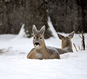 image of cleaving  - Young deer lying in the snow in the park - JPG