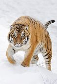 pic of tigress  - Siberian tiger in the wild on the snow - JPG