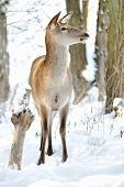 pic of cleaving  - Beautiful deer standing in snow in winter forest - JPG