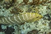 pic of grouper  - Epinephelus itajara or goliath grouper swimming in a reef - JPG
