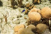 foto of creole  - creole wasse in their intial phase swimming on top of coral - JPG