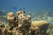 stock photo of damselfish  - Bicolor damselfish and blue chromis swiming above coral - JPG