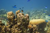 pic of damselfish  - Bicolor damselfish and blue chromis swiming above coral - JPG