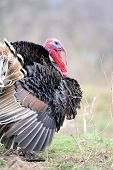 stock photo of black-cock  - The elegant turkey cock on the green grass - JPG