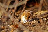 picture of field mouse  - field mouse in natural habitat - JPG
