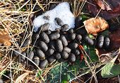 picture of scat  - Colorful and crisp image of droppings of red deer - JPG