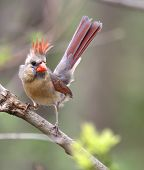 image of cardinal  - Female northern cardinal cardinalis cardinalis on a tree branch