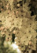 stock photo of cassia  - close up cassia fistula flower or golden shower cassia or indian laburnum background - JPG