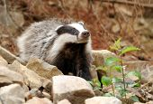 picture of badger  - Badger near its burrow in the forest