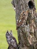 picture of nesting box  - Eastern Screech Owls perched on a dead tree stump - JPG