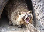 image of raccoon  - A raccoon in defense of his lair - JPG