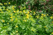 stock photo of celandine  - Medicinal herb celandine blooms in the forest lit by the Sun
