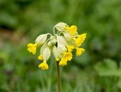 stock photo of cowslip  - Yellow flowers of wild plant Common Cowslip - JPG