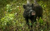 picture of boar  - Wild boar in a national park in India - JPG