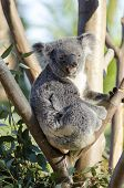 foto of herbivore  - A cute adorable adult koala bear sitting on a tree grasping a branch with its claws - JPG