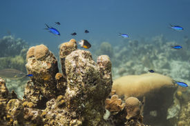 pic of damselfish  - Bicolor damselfish and blue chromis swiming above coral - JPG