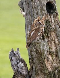 image of screech-owl  - Eastern Screech Owls perched on a dead tree stump - JPG