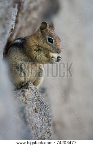 Chipmunk Close Up
