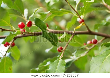 Ripe Autumn Olive Berries (elaeagnus Umbellata) Growing On A Branch