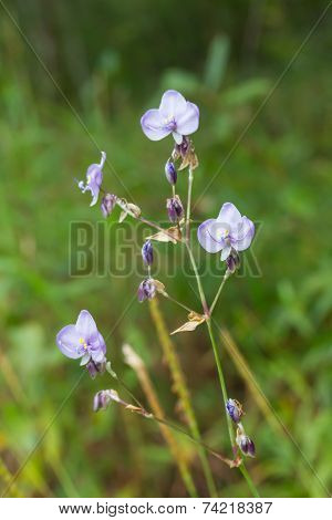Tradescantia Pallida or purpurea flower