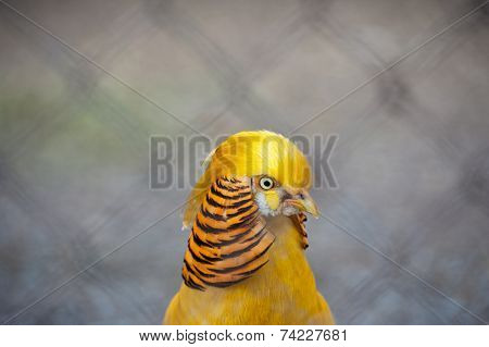 Single pheasant bird photo closeup