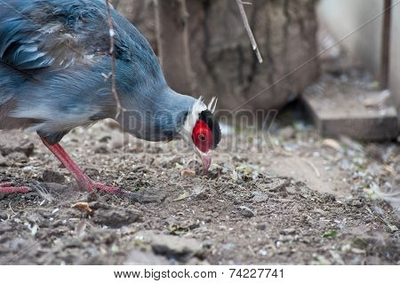 Single eating pheasant bird photo
