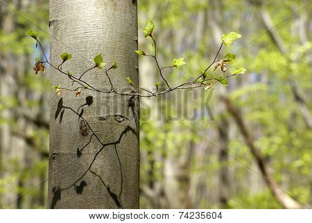 Beech Branch In The Spring