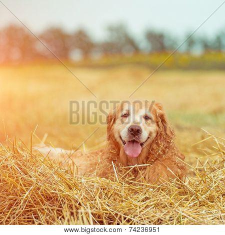 Golden Retriever in the straw in rural areas in summer