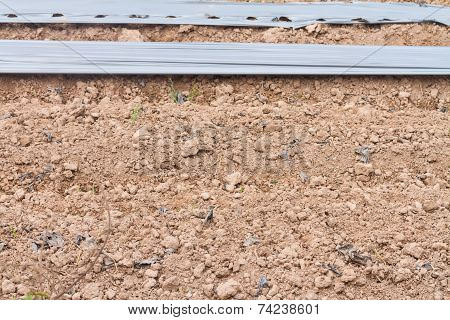 Ground with plastic cover for chili plant in field