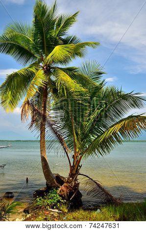 Coconut At Phra Thong Island