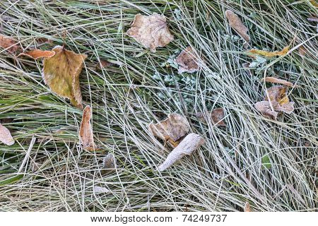 Autumn Frosted Grass At Early Morning
