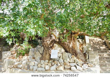 Oldest Pistachio Tree In Nikitsky Botanical Garden