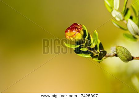 Tiny Red And Yellow Flower