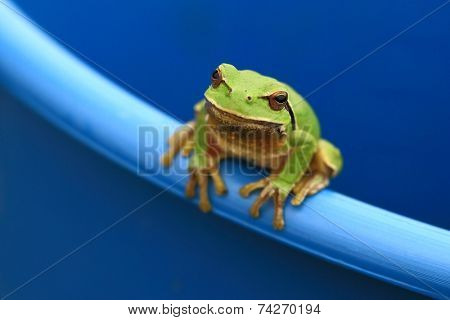Green tree frog peeking out of a bucket