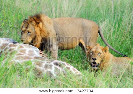 Two young male lions feeding