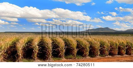 Nice Image of rows of corn in New Mexico.