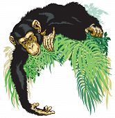 image of chimp  - chimpanzee or chimp ape - JPG